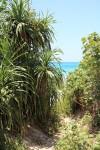 長間浜へ降りる道にあったパイナップル。野生のパイナップルなんてあるんだー。