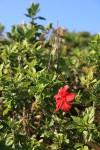 ハイビスカス。宮古島ではハイビスカスは雑草だそうな。