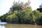 島尻のマングローブ林。今回は干潮ではなかったので、あまりきれいじゃないかも。