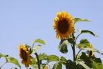 ひまわりと青空と太陽。夏の組み合わせだよね。