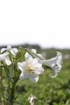 テッポウユリもたくさん咲いていました。4月よりも多かったか。