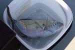 ガーラっていう魚が釣れました。和名はヒラアジ。アジの仲間ですが体高があるね。