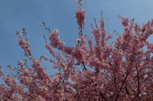 天気も良かったので桜も満開近い。