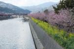 せっかく晴れていたので河津桜を見に。