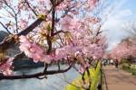 河津桜はソメイヨシノに比べると色が濃くて派手っすな。